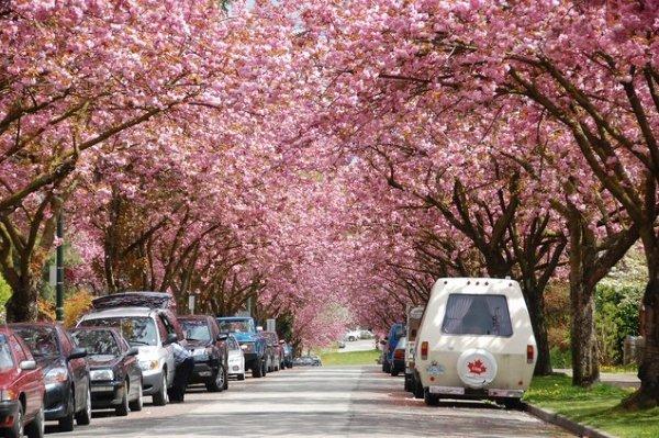 vancouver-cherry-blossom.jpg